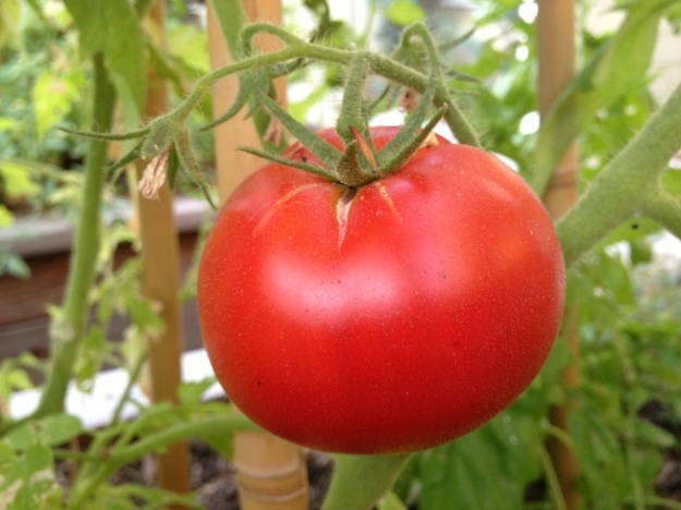 Gather some backyard tomatoes...